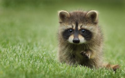 This Little Raccoon Is Satan/How To Be Believable